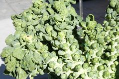 Brussels Sprouts on Stalk Royalty Free Stock Image