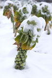 Brussels sprouts under the snow Stock Photography