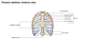 Brust- Skeleton Vorderansicht lizenzfreie abbildung