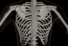 Brust- Teil des menschlichen Skeletts lizenzfreie abbildung