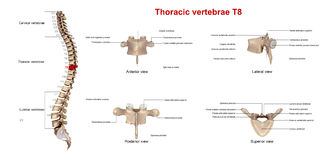 Brust- Wirbel T8 stock abbildung