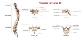 Brust- Wirbel T3 lizenzfreie abbildung