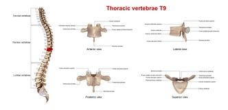 Brust- Wirbel T9 lizenzfreie abbildung