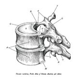 Brust- Wirbelanatomieweinleseillustrations-Clipartisolat stock abbildung