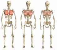 Brustmuskeln auf Skelett Stockfoto
