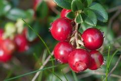 brusznicowa lasowa roślina Zdjęcie Royalty Free