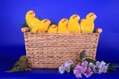 Brut der Rot-konfrontierten Kakariki Parakeets stockbild