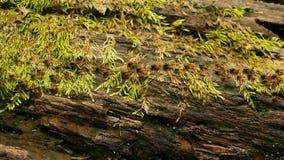 Brut des tragenden Bodens der schwarzen Termite, zum des Nestes, Baumrinde zu errichten mit Moos Eusocial-Insektenkolonie, die in stock video