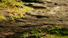 Brut des tragenden Bodens der schwarzen Termite, zum des Nestes, Baumrinde zu errichten mit Moos Eusocial-Insektenkolonie, die in stock video footage