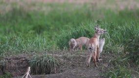 Brut, Füchse, Welpenfüchse stock footage