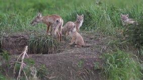 Brut, Füchse, Welpenfüchse stock video footage