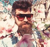 Brutal macho smiling near tender flowers on sunny day. Man with beard and mustache wears sunglasses, magnolia flowers royalty free stock images