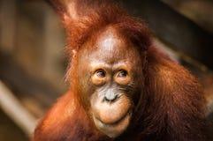 Brutale aap stock afbeelding