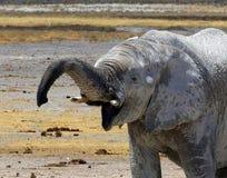 Brutale babyolifant met een grote glimlach en een boomstamstokvoering naar de camera Royalty-vrije Stock Afbeelding