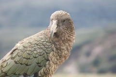 Brutale Kea, Nieuw Zeeland Royalty-vrije Stock Foto's