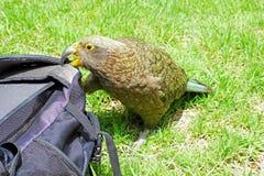 Brutale Kea Parrot-het bijten Rugzak, Nieuw Zeeland Stock Foto