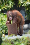 Brutale orangatung Royalty-vrije Stock Foto