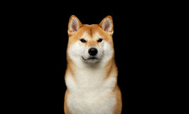Brutalny Czerwony Shiba inu pies na Odosobnionym Czarnym tle zdjęcie royalty free