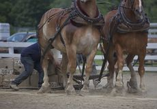 Brute Force. A team of two work horses in harness pulling a load royalty free stock photos