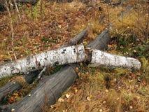 bruten björk Royaltyfri Fotografi