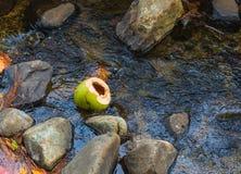Bruten kokosnöt i en Rocky Stream Royaltyfria Foton
