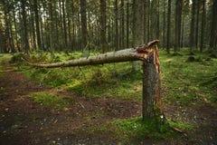Bruten trädstam i pinjeskog royaltyfria foton