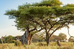 Brutet Baobabträd och akacia i Botswana royaltyfria bilder