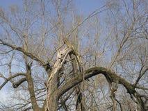 Brutet gammalt träd Arkivfoton