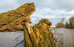 Brutet tjockt träd upp slut Arkivbilder