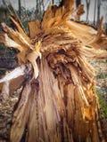 Brutet träd efter stormen Arkivbild