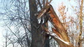 Brutet träd i filialerna för landskap för vinter för skog för skogträdstam de torra arkivfilmer