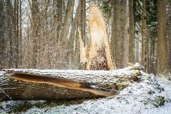 Brutet träd i skog i vinter Royaltyfri Fotografi