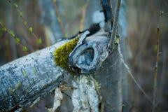 Brutet träd med grön mossa i en parkera Arkivbild