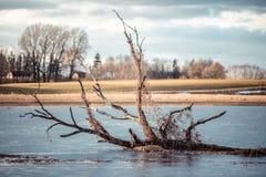 Brutet träd som svävar i den vår översvämmade floden royaltyfri bild