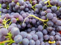 Brutna grupper av närbild för röda druvor på en solig eftermiddag Royaltyfri Foto