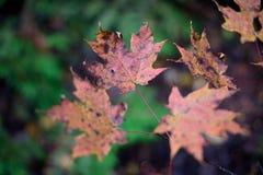 Brutna röda lönnlöv på suddig bakgrund för grön växt, ska göra det Royaltyfri Foto