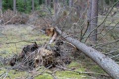 Brutna stubbar av vissna träd Skada som göras till skogen av st royaltyfri foto