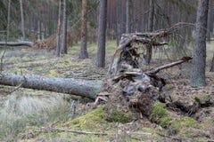 Brutna stubbar av vissna träd Skada som göras till skogen av st arkivfoton