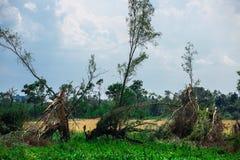 Brutna stupade träd Brutna träd i efterdyningen av en orkan Ukraina Cherkassy region, sommar 2017 Royaltyfria Foton