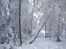 Brutna trädstammar av den snöig vinterskogen i frostig mist Royaltyfria Bilder