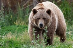 Brutus the Grizzly Bear