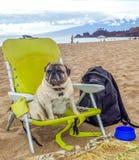 Brutus mops Siedzi w Plażowym krześle na piasku fotografia stock