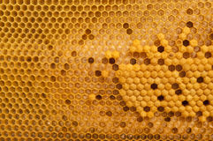 Brutzellen der Honigbiene Stockbild