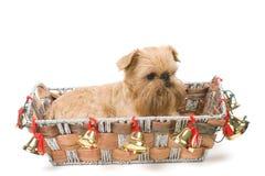 bruxellois圣诞节礼品griffon 免版税库存图片