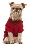 bruxellois свитер красного цвета griffon Стоковые Фотографии RF