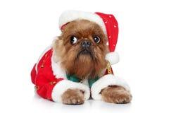bruxellois griffon帽子圣诞老人 库存照片