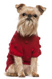 bruxellois griffon红色毛线衣 免版税库存照片