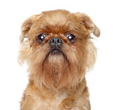 Bruxellois Griffon狗 免版税图库摄影