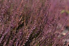 Bruyère Image libre de droits