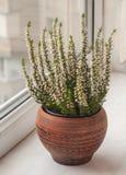 Bruyère blanche dans un pot en céramique photo libre de droits